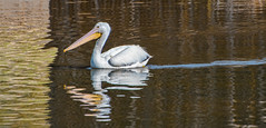 White Pelican in Brownish Waters (FotoGrazio) Tags: animals california sandiego usa waynegrazio waynesgrazio whitepelican yellowandbrown animal bird brownwater feathers fishcatcher fotograzio nature pelican reflection ripples seabirds water waterbird waterfowl whitefeathers wildlife yellowbill