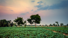 Sunset at a farm in Layyah, Pakistan (hamzaqayyum) Tags: field farm sunset landscape nature crop tree fujifilm xt20 pakistan layyah punjab
