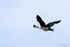 Comb Duck (PB2_1879) (Param-Roving-Photog) Tags: knobbilled comb duck male flying flight bird water lake wildlife wetland ropar ramsar punjab wildlifephotography indianwildlife birding nikon tamron