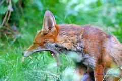 It's Been A Hard Days Night.... (law_keven) Tags: fox foxes animals mammals catford london england uk vulpes vulpesvulpes gardens urbanfox redfox photography wildlifephotography wildlife