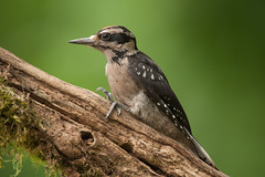 Hairy Woodpecker (Martin Dollenkamp) Tags: vancouverisland birds nature woodpecker hairy hairywoodpecker britishcolumbia picoidesvillosus canada