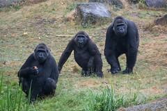 DSC00600 (sylviagreve) Tags: 2017 apenheul gorilla apeldoorn gelderland netherlands nl