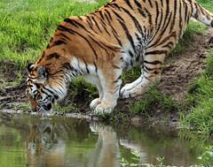 siberian tiger Beekse Bergen JN6A4660 (joankok) Tags: tiger tijger siberischetijger siberiantiger pantheratigrisaltaica mammal zoogdier dier animal asia azie beeksebergen kat cat predator