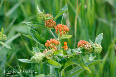 Kristen Martyn- Butterfly Weed, 20170629 (6) (KristenMartyn) Tags: flower nativeplants gardening garden indoorplants plants flora ontario outdoor tour tours wildflower wildflowers nativeplant butterflyweed milkweed asclepiastuberosa butterfly
