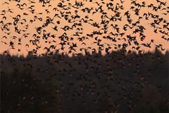 Starlings (Mikkelmusiker) Tags: canon eos 7d mark ii ef400mm f56l usm starlings ølene bornholm stære birds sunset autumn sort murmuration sol sturnus vulgaris common wildlife nature scandinavianwildlife
