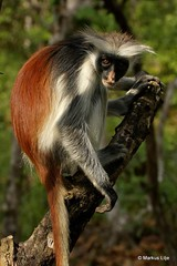 Zanzibar Red Colobus (markus lilje) Tags: markuslilje africa tanzania primate monkey colobus zanzibarredcolobus redcolobus procolobuskirkii zanzibar kirksredcolobus nature