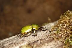 Fruhstorferia sexmaculata (Mashku) Tags: beetles scarabeidae rutelidae rutelini