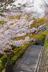 A narrow spring road next to the stone wall in Kyoto, Japan (Hopeisland) Tags: old pink flowers trees plant flower tree nature japan stone wall cherry temple spring kyoto blossoms april sakura cherryblossoms colourful narrow 2010 tojitemple toji      4