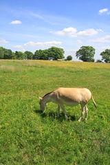 onagar 3 (romorga) Tags: horse nature canon mammal eos endangered tring cavalo grazing animalia mammalia equine hest equus hevonen paard asinus hst  ko equidae chordata chevel 50d perissodactyla k equids equid    innoc romorga wildasianass equshemionus persianass