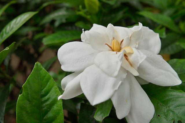 クチナシの花言葉|幸せ・怖い意味もあるクチナシ(くちなし)の花
