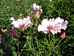 Roses (Urban Woodswalker) Tags: flowers roses summer nature beauty midwest greenery forestpreserve lovely cookcounty beautifulscenery chicagobotanicgardens meditative flickrnature bestofday urbanwoodswalker neillinois