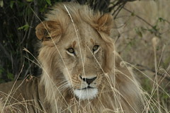 King Lion (3 Africa) Tags: africa canon king kenya wildlife lion safari leone 70300 flickrbigcats