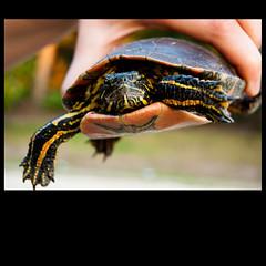 . (iM@n) Tags: wild portrait pet nature netherlands animal hands nikon hand turtle nederland thenetherlands eindhoven tortoises brabant 2010 d90  nikond90