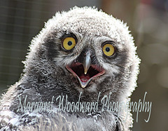 Baby Snowy Owl (margaret.woodward) Tags: sky baby white snow cute feet grey fly photo wings funny snowy yorkshire beak feathers picture chick loveit cuddly owl greatshot snowowl fury owls northyorkshire dales hawks flightless yorkshiredales snowyowl babyowl owlchick falcone greatplace photoof orphen pictureof yorkshiredalesfalconrycentre cannon40d babysnowyowl photofunnies snowyowlchick margaretwoodward snowowlchick snowowlbaby snowyowlbaby margaretwoodward