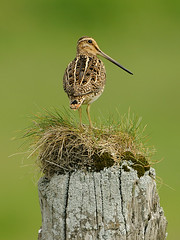 Snipe (Gallinago gallinago) (m. geven) Tags: bird nature grass animal fauna iceland weide adult heather meadow natuur camouflage dier avian stilt vogel lookingback weiland heide avifauna snipe nld weidevogel woodenpole gallinagogallinago ijsland bekassine langesnavel backsideview schutkleur hooiland steltloper blaten longbill breedingbird bcassinedesmarais avianexcellence meadowbird achteraanzicht broedvogel moerasvogel houtenpaaltje schaarsebroedvogel omkijken breedingarea ijslandiceland rugaanzicht medalland waternsip zigzagvlucht kirkjubaeklaustur