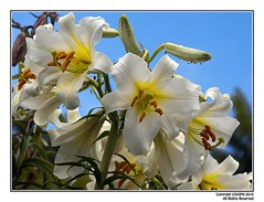 Photo of White Lillies