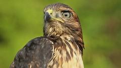1-Por ti lo haria mil veces fue su respuesta!!Para el mas noble de los gatos. Para mi hermano Rafael ( ergatopardo).Reivindico el espejismo de intentar ser uno mismo, ese viaje hacia la nada que consiste en la certeza de encontrar en tu mirada la belleza. (Cimarrón Mayor 16,000.000. VISITAS GRACIAS) Tags: naturaleza bird fauna amigo video dominicanrepublic explore ave highdefinition hd rafael oiseau libre republicadominicana montañas redtailedhawk buteojamaicensis panta rapaz dominicano altadefinicion dedicación guaraguao amenazada altadefinició canoneos7d hautedéfinition altadefinizione canon7d libertee elgalopino cimarronmayor telefoto500 高解像度 عاليةالوضو высокоеразрешение especieamenzada