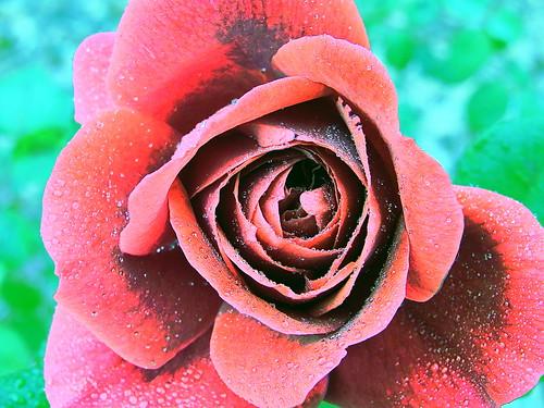 Macro Rose 2of2