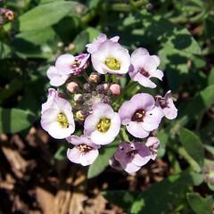 Lobularia maritima 香雪球花 (beautifulcataya) Tags: brassicaceae sweetalyssum lobulariamaritima sweetalison seasidelobularia alyssummaritimum dwarfpinksweetalyssum seasidelobulariaeasterbonnetlavender