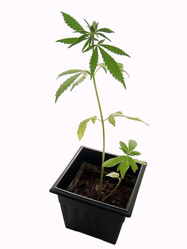 450px-Marijuana_plant