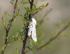 Salt Marsh Moth, Estigmene acrea (Dave Beaudette) Tags: arizona moths cochisecounty saltmarshmoth estigmeneacrea sanpedroripariannationalconservationarea millvilletrail