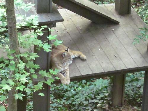 Resting bobcat.