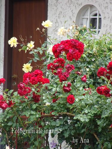 Trandafiri pe o strada