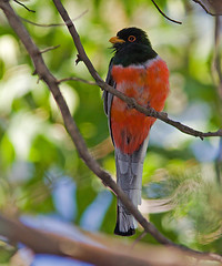 IMG_0368 Elegant Trogon (lois manowitz) Tags: arizona birds trogons