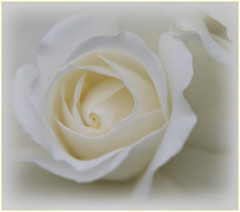 """White Rose (Mr_K_Green) Tags: white blur flower macro rose canon eos yorkshire cannon tamron bridlington sewerby 400d eos400d ilroseto """"flickraward"""" ringexcellence"""