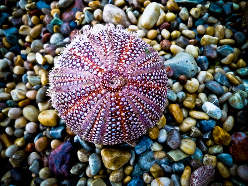 Urchin on a Pebble Beach / emperor1959