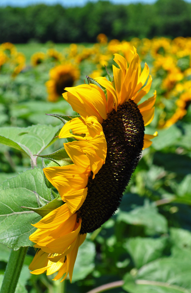 Sunflower (2)