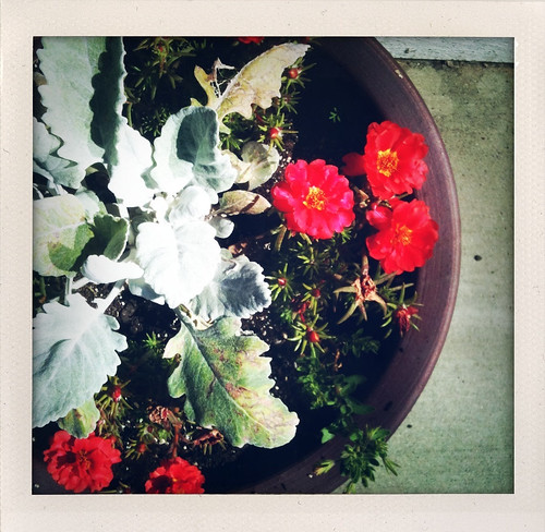 Dusty Miller & Portulaca (Moss Rose)