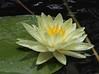 Fragrant Water Lily (AllHarts) Tags: nature best naturesfinest coth fragrantwaterlily dixongardens memphistennessee bej abigfave anawesomeshot citritbestofyours everydayissunday cherryontopphotography natureselegantshots alittlebeauty pogchallengewinnershalloffame superbmacroaward naturesbeautifulphotography naturescarousel see~a~wonder naturallywonderful challengeclubchampions