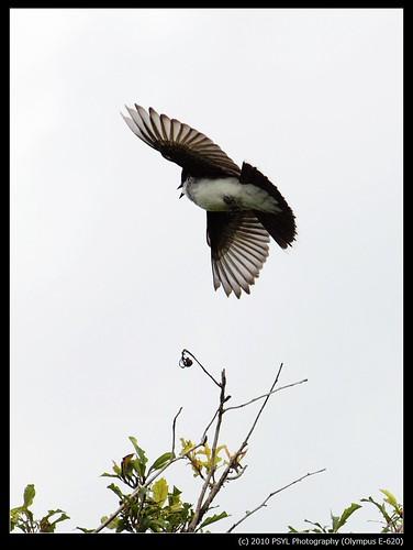 Eastern Kingbird (Tyranus tyranus)