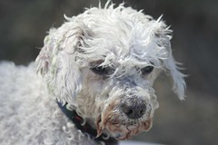 Survivor (! .  Angela Lobefaro . !) Tags: sea portrait dog chien pet france love water beautiful leaves animal cane port swimming puppy interestingness mare peace sad cross action peaceful hond perro explore cao hund cielo cachorro poodle bichon hungry provence mad frontpage francia idyllic filhote mascota perrito survivor upset bolognese hachiko provenza caes whitedog ungry wetdog cae cagnolino istres allegri provencealpescotedazur explored i500 natuzzi tangdeberre hokhiko angiereal angelamlobefaro lobefaro allegrisinasceosidiventa gettyvacation2010 meetingallegri