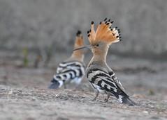 Upupa epops - Eurasian hoopoe - Huppe Fasciée -  01/07/10 (Philippe_Boissel) Tags: france birds europe bretagne morbihan upupaepops larmorbaden eurasianhoopoe upupidae huppefasciée upupiformes 0015d chogenan