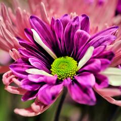 275/365 (Lea and Luna) Tags: summer plant flower nature flora nikon purple bokeh saturday creation summertime 365 60mm nikkor macrolens d5000 hpps 275365 365bokeh perfectpurplesaturday 365daysofbokeh happyperfectpurplesaturday