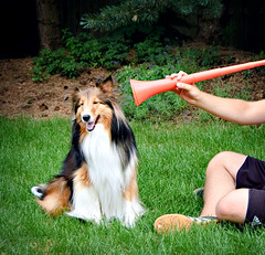 27/52: Vuvuzela Concerto in B (Kerfuffle~) Tags: dog football soccer sheltie worldcup fergus shetlandsheepdog  2752 vuvuzela 52weeksfordogs