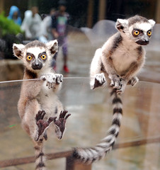 Ring tailed lemur (floridapfe) Tags: two cute animal zoo monkey nikon korea everland ringtailedlemur 에버랜드 magicofnature