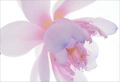 Lotus Flower - IMG_1316-1000 (Bahman Farzad) Tags: flower macro yoga peace waterlily lotus relaxing peaceful meditation therapy lotusflower lotuspetal lotuspetals lotusflowerpetals lotusflowerpetal