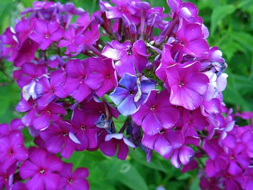 deep pink Tall Garden Phlox