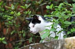 靜觀其變 (kimi kao) Tags: cat 貓 貓咪 streetcats 街貓 侯硐