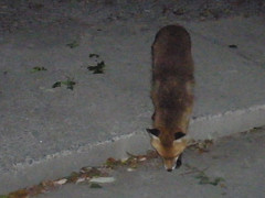 Neighbourhood fox