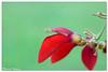 Red & Green (hijo_de_ponggol) Tags: red flower macro green philippines laguna tamron 90mm starosa kodakero novali