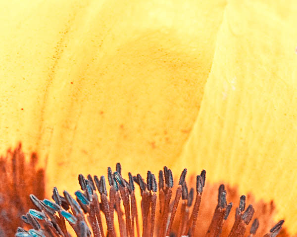 Abstract Macro of Poppy Flower