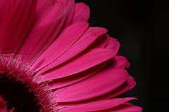 Pink Gerbera (KarissaDeanna) Tags: macro canon 100mm gerbera xsi