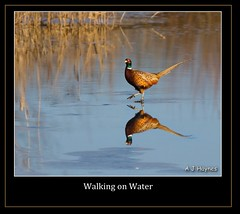 Walking on Water (Andrew Haynes Wildlife Images) Tags: bird ice nature wildlife warwickshire brandonmarsh canon7d ajh2008
