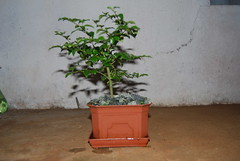 Privet [ Ligustrum ] Bonsai (Xtolord) Tags: bonsai privet ligustrum potensai privetbonsai bonsaiprivet xtolord