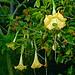 Photo: Brugmansia sp.