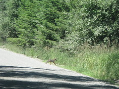 Coyote on the way down Mowich Road